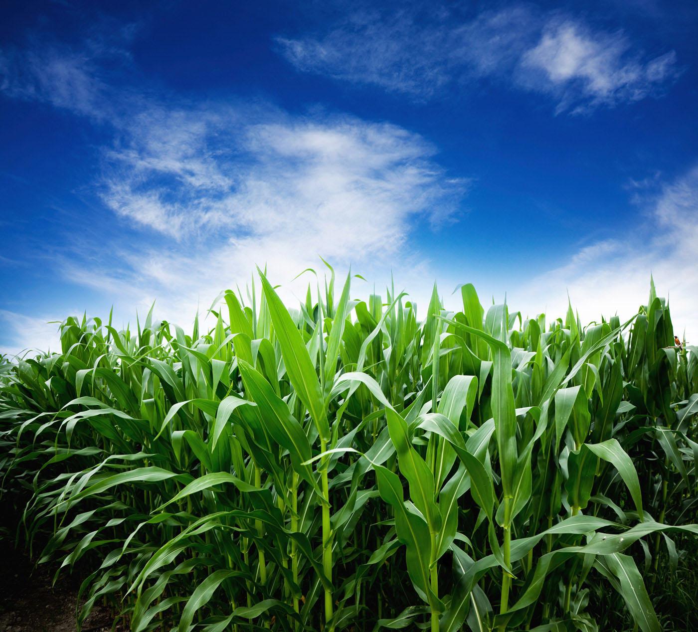 corn field plants against blue cloudy sky